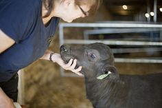 Ontario farm's water buffalo are the big cheese: The New Farm. Jolene, the baby water buffalo, was born last month, but in a few years she'll be producing up to 10 litres of milk per day. There's growing demand for versatile milk, mozzarella and gelato (Toronto Star 1 May 2017)