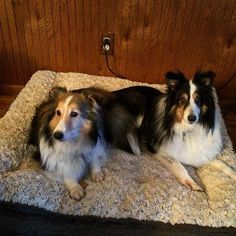 https://flic.kr/p/wQMg1D | Could they be any cuter? Maggie and Jake #shelties #shetlandsheepdog