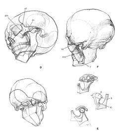 * Head & Face & Skull *14