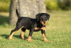 Small Dog Breeds That Dont Shed Australian Shepherd