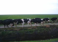 Cows on the isle of Terschelling