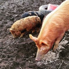 Bit of a size difference between Hilda and Maggie! #tamworthpigs #kunekunepigs #countrysideuk #farmstay