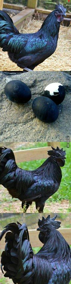 Most Metal Chicken Ever. Ayam Cerami : A rare breed of chicken that is black inside out; organs, feathers, eggs ALL BLACK.