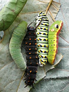 """…four native Northeastern swallowtail caterpillars side by side for comparison. A family portrait of evolutionary relatives, if you will. From left to right: the Eastern tiger swallowtail (Papilio glaucus), pipevine swallowtail (Battus philenor), Eastern black swallowtail (Papilio polyxenes), and spicebush swallowtail (Papilio troilus)…"" — photo by Ansel Oommen, posted with permission."
