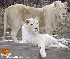 Google Image Result for http://www.billybear4kids.com/animal/whose-toes/lions/white-lions.jpg