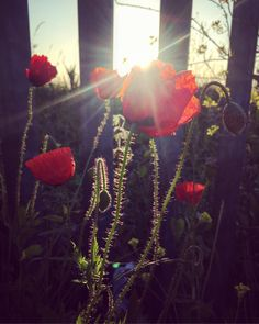 Early morning capture Love Flowers, Early Morning, Poppies, Nature Photography, Floral Design, Sunrise, Happiness, Photo And Video, Instagram