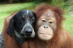 Amizade entre orangotango e cão é uma verdadeira lição de vida