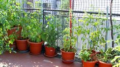 Lush tomato plant on the terrace in a ecological urban garden cultivated by children stock photo Gardening Tips, Vegetable Gardening, Landscape Designs, Blooming Plants, Tomato Plants, Fresh Vegetables, Ecology, Garden Plants, Planting Flowers