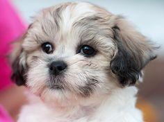 teddy bear puppy info