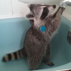 """What's this strange thing?"" Grace~♡ #raccoon #mapache #baby #cute #adorable #scratching #digging #curious #mischievious #playful #bathroom #bathtub  #raccoonsofinstagram #animalsofinstagram #instapet #exotic #exoticpets"
