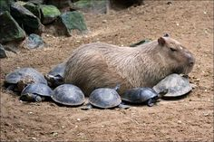 Mama Capybara taking care of her baby turtles