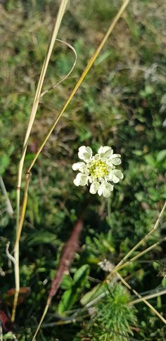 Dandelion, Flora, Plants, Dandelions, Plant, Planting