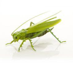Handmade Glass Grasshopper - a Superb Example of Venetian Glass Lampwork - Venice, Italy.