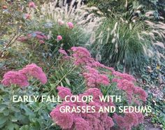 Beautiful Sedum 'Autumn Joy' is a late blooming perennial. Use it alone or mix it with Fountain Grass so that the contrast in textures make each plant really pop!