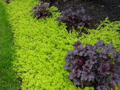 great plant combination: 'Plum Pudding' Heuchera and creeping Jenny