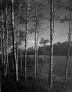 Ansel Adams, Aspen Grove, Jackson Lake, Wyoming (1948) | Artsy