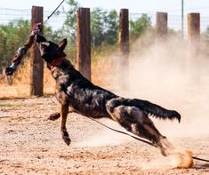 www.elitek-9.com/   #dutchshepherd #dutchshepherdsofinstagram #dutchie #executiveprotectiondogs #exotics