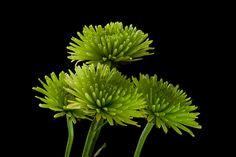 green flowers by JudithNora1, via Flickr