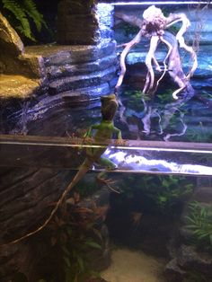one of my Chinese Water Dragons Bearded Dragon Habitat, Bearded Dragon Cage, Reptile Room, Reptile Cage, Lizard Cage, Chinese Water Dragon, Animals Information, Cute Reptiles, Beautiful Dragon