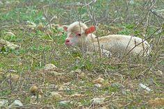 Aktualnie hodowla wspomnianych istot nie ma już takiego znaczenia jak dawniej. Celem rozpromowania owczarstwa prowadzonych jest wiele działań. Owce są ponadto zwierzętami szczególnie wielostronnymi. Ponadto zapewniania wymienionych we wstępie produktów, wykazują dobroczynny wpływ na środowisko naturalne. Na równą długość ścinają roślinność na polanach, użyźniają teren oraz przyczyniają się do utrzymania odmienności krajobrazowej.