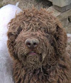 Cute Lagotto Romagnolo Puppy