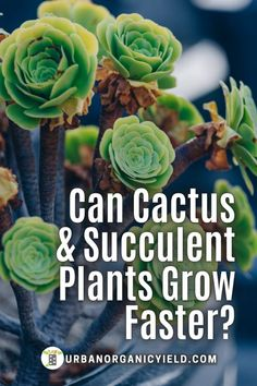 Is your succulent or cactus not growing? Maybe because you are over-watering your plant? Maybe not enough sun? Can a succulent or cactus grow faster with some help? Let us give you tips on how to… More