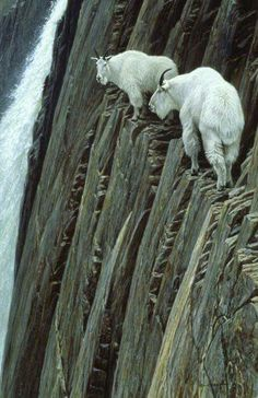 Mountain goats.  Pic taken from fb 02-13-2016.