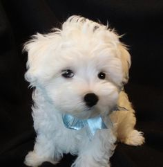 free-ads.eu Dogs - Puppies classifieds: Adorable Maltese Puppies