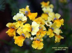 PlantFiles: Picture #2 of Nemesia 'Serengeti Yellow' (Nemesia)