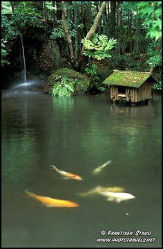 Japanese Koi – in the pond of Tenju-an garden, Kyoto, Japan