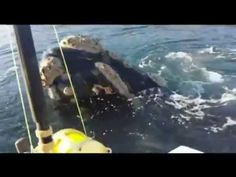 """Fishermen Help Remove Plastic Bag After Whale """"Asks"""" For Help [Video] - These fishermen had an experience like no other. A whale approached their boat and """"asked"""" them for help to remove a plastic bag from its mouth."""