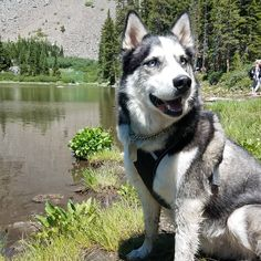 Siberian Huskies, Husky Puppy, Happy Dogs, Cute Puppies, Cute Pictures, Swimming, Cats, Life, Animals