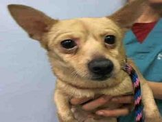 TO BE DESTROYED 12/22/15 When you see that little Sweay exhibits fearful body language, well that tells you pretty much all that you need to know. Sweay is a 2&1/2 year old Chihuahua who only weighs 9&1/2 pounds. Sweay may be tiny but he can sure stir up a ruckus. Sweay comes to the shelter as a stray and he is in self defense mode. The poor fellow has a rope burn around his neck but otherwise appears to be a healthy young man. No one would love for Sweay to calm down more than himself as…