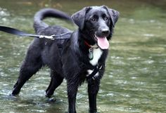 VA to ME....Piper is a 50 lbs 2yo Border Collie/Pyr/Lab mix who is one of the Lewisburg dogs. She is DOING AWESOME. She love sto fetch and play in water. She is great with other dogs and would make a great family dog. Email ElizabethBFDR@gmail.com to foster or adopt this girl. She can go anywhere from VA to ME. Border Collie Lab Mix, Collie Mix, All Need Is Love, Love Her, Family Dogs, Beautiful Dogs, The Fosters, Dog Cat, Adoption