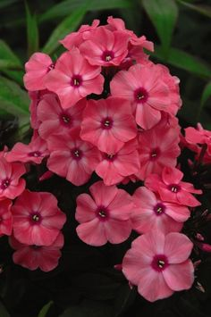 """First Editions® Coral Crème Drop™ Phlox, Phlox paniculata 'Ditomdre' PP20,907.  Full sun, Zone 4-8, 18-22"""" t x 18-24"""" w.  Lovely coral blooms with rosy eyes. The most mildew resistant phlox to date. Coral Creme Drop will bring months of tantalizing color and delicious fragrance to the summer garden. Attracts butterflies and hummingbirds."""