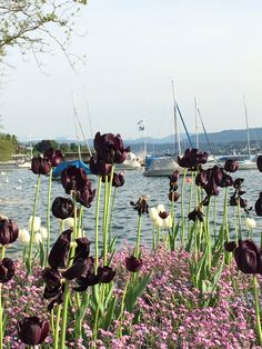 Lake Zurich in Zurich, Switzerland. I've never seen such dark tulips! Switzerland Vacation, Lake Zurich, Love Birds, Tulips, Dark, Places, Switzerland, Tulip, Lugares
