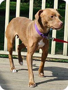 Livonia, MI - Labrador Retriever/Hound (Unknown Type) Mix. Meet Jm Litter-Contessa (Mom), a dog for adoption. http://www.adoptapet.com/pet/11556538-livonia-michigan-labrador-retriever-mix