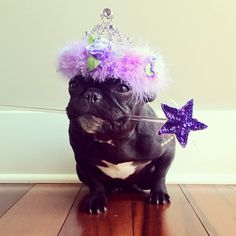 'The farting tooth fairy', Magical French Bulldog.