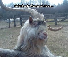 Funny animals photos with signs | #fun #Goat #Photogenic