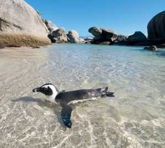 Boulders Beach with an African penguin, Cape Town Cape Town Holidays, South Afrika, African Penguin, Boulder Beach, Out Of Africa, Africa Travel, Science And Nature, Vacation Trips, Travel Planner