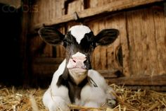 Calf in Stable © Wolfgang Flamisch/Corbis/Royalty-Free - Fair Use
