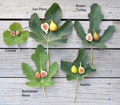 Ficus, 5 varieties w labels