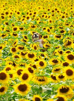 Exasperated and lost in the Sunflower Maze, Agnes waved Higgins around like a white flag, hoping to attract someone's attention.