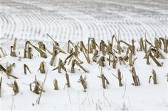 Bales of corn stalks covered with dusting of snow near La Vista, Neb., late last month. Despite getting big storms in Dec, much of the U.S. is still desperate for relief from the nation€™s longest dry spell in decades. experts say it will take an absurd amount of snow to ease the woes of farmers and ranchers.-------- Corn stalks stand in a snowy field near La Vista, Neb., in this photo from Dec. 28, 2012. www.syracuse.com/...