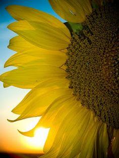 Sun Flower- my favorite flower