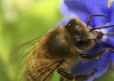 Honeybee (Apis mellifera) on Forget-me-not flower (Myosotis sylvatica)
