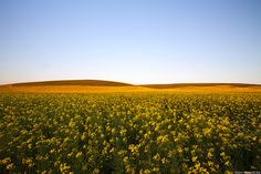 Beautiful canola! Napier area, Western Cape | South Africa #SouthAfrica Landscape Photography, South Africa, Landscaping, Scenery, Outdoor, Beautiful, Outdoors, Landscape, Scenery Photography