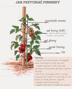 przycinanie+pomidorów-2.jpg (1302×1600)