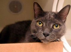 """TINKERBELL - A1089010 - - Manhattan  ***TO BE DESTROYED 09/18/16***KIND, BEAUTIFUL AND GENTLE TINKERBELL READY TO BE YOUR FUREVER FRIEND! Tinkerbell is an eight year old, spayed and loving girl who would make a purrfect companion to a lucky purrson. This gentle sweetheart lost her home due to her former owner's """"allergy"""" excuse. She is middle-aged with a lot of life and love left in her that she would LOVE to share with YOU. Even the ACC noted how kind and"""