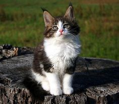 http://www.absolutelycats.com/23MaineCoon6.html    #MaineCoons #Kittens #Cats
